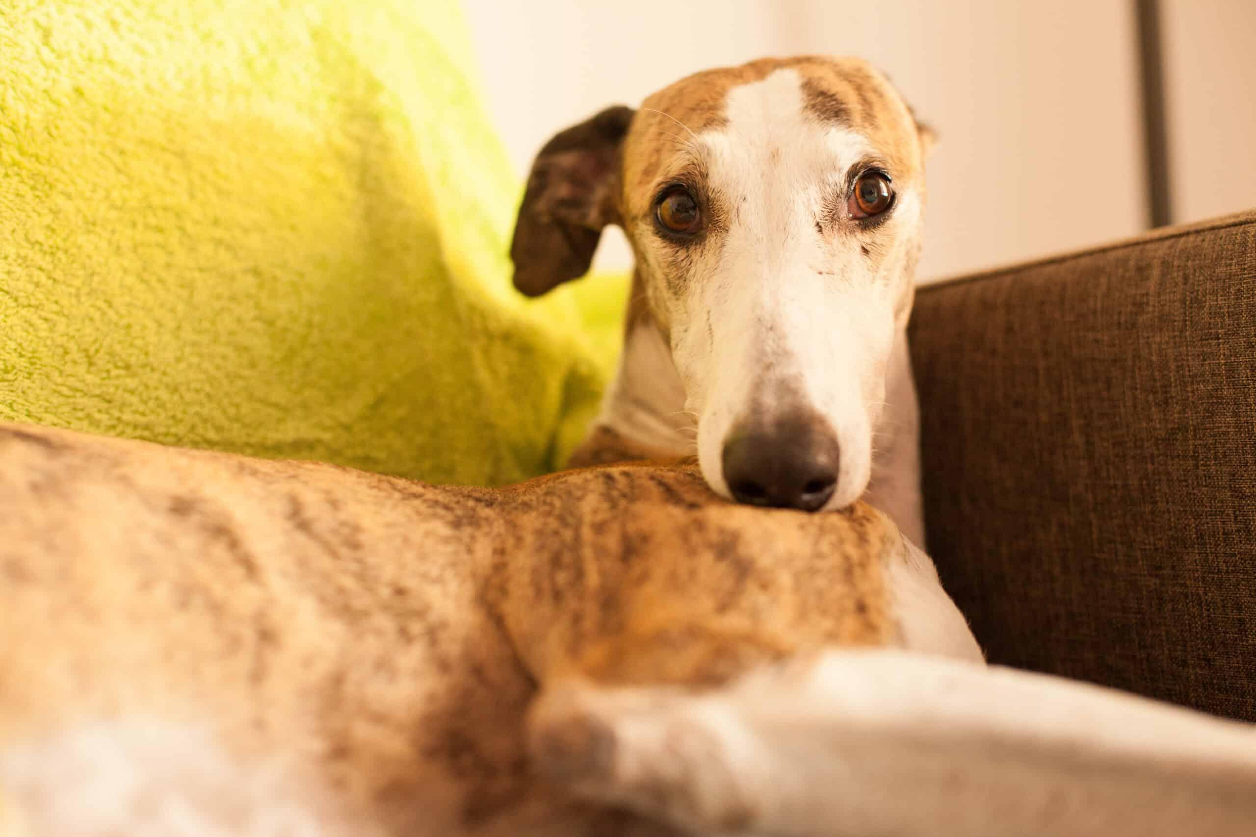 Greyhound liegt