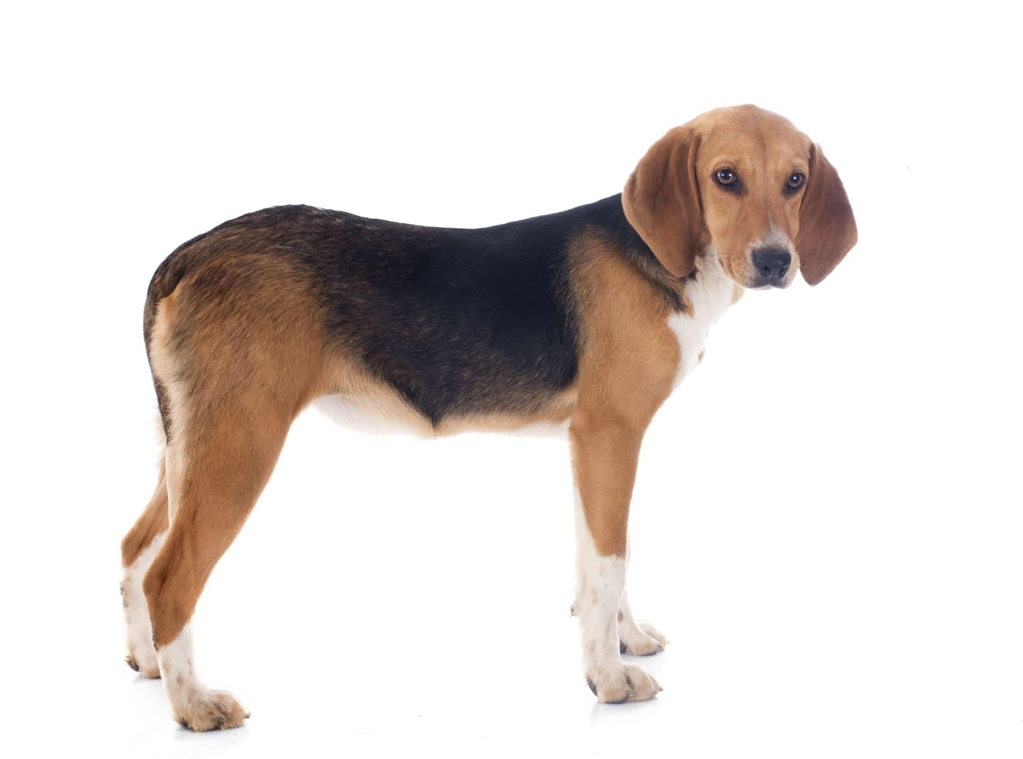 Harrier Hund Profil