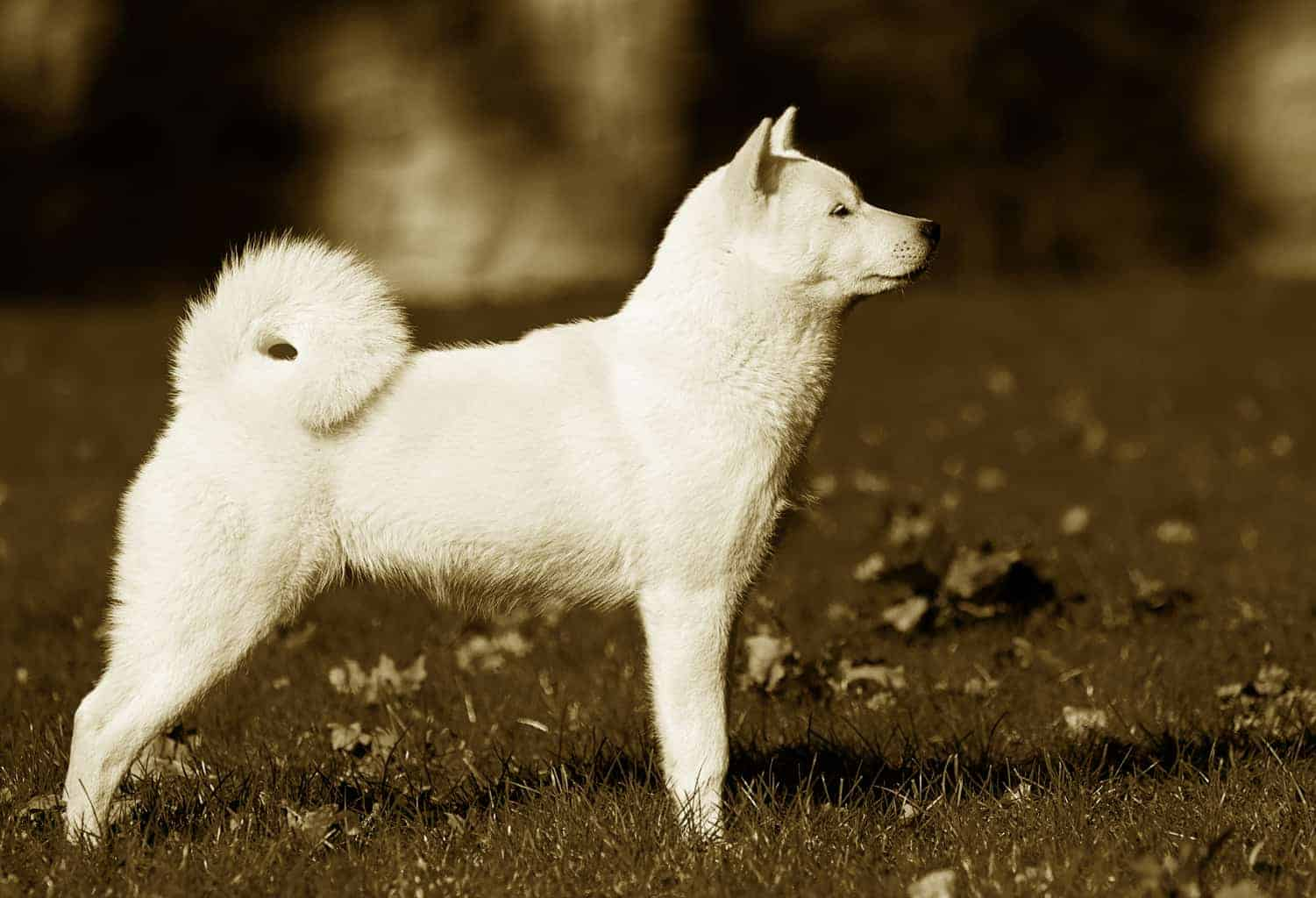 Hokkaido Hund Geschichte