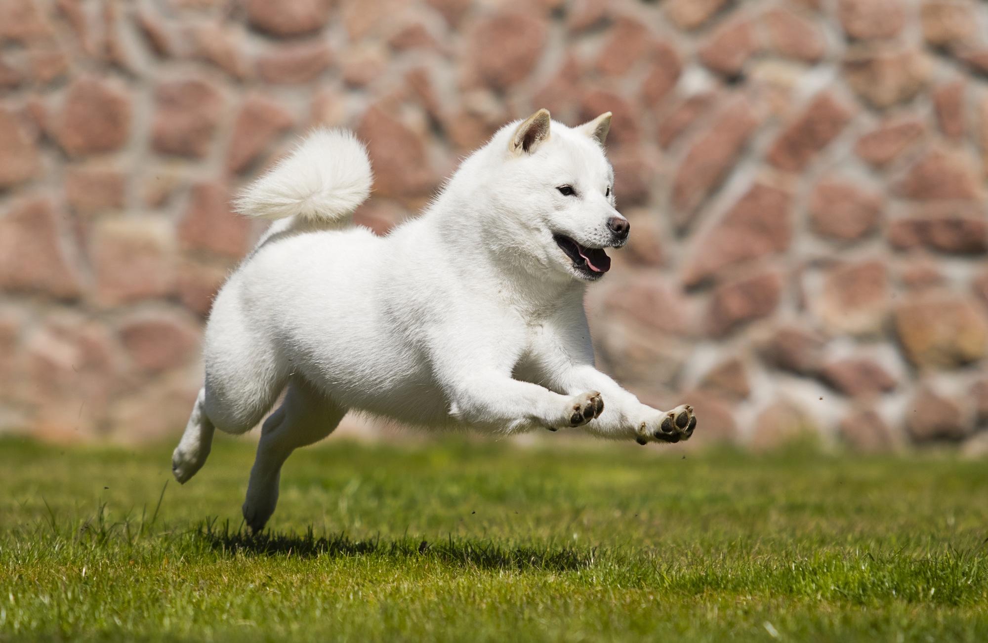 Hokkaido Hund