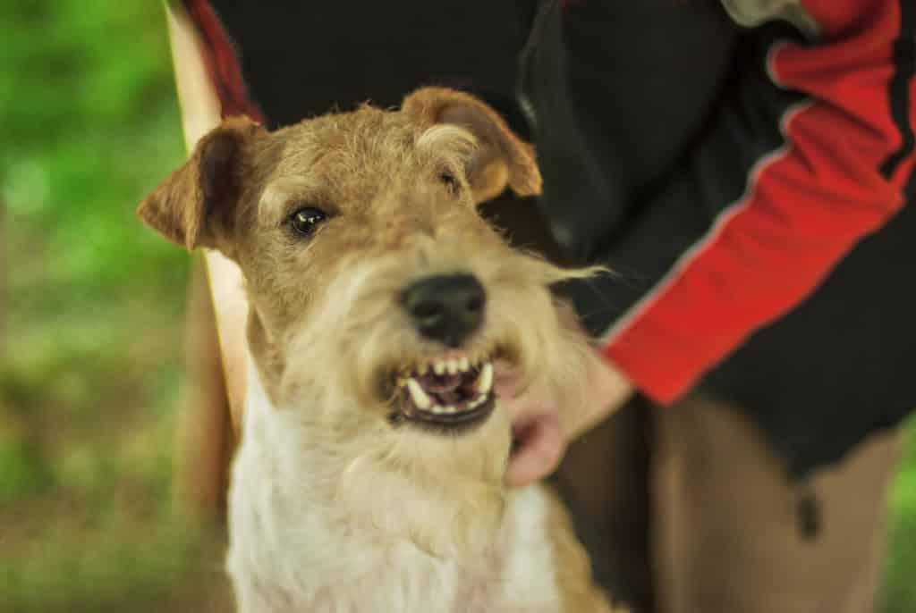 Terrier knurrt