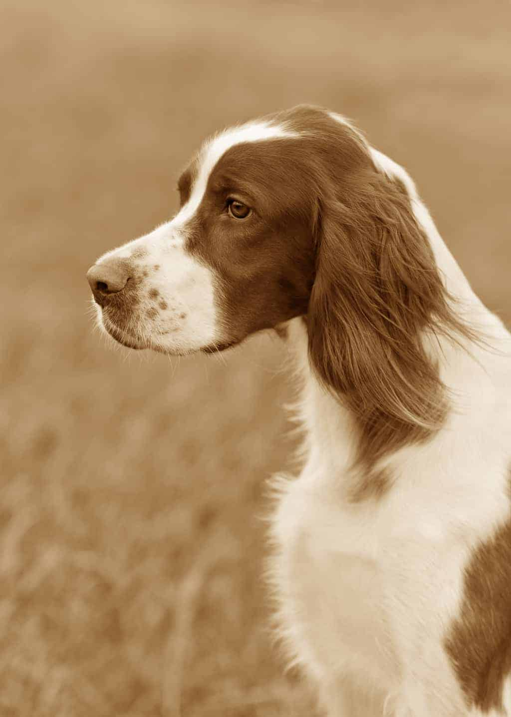 Irish Red And White Setter Geschichtsbild