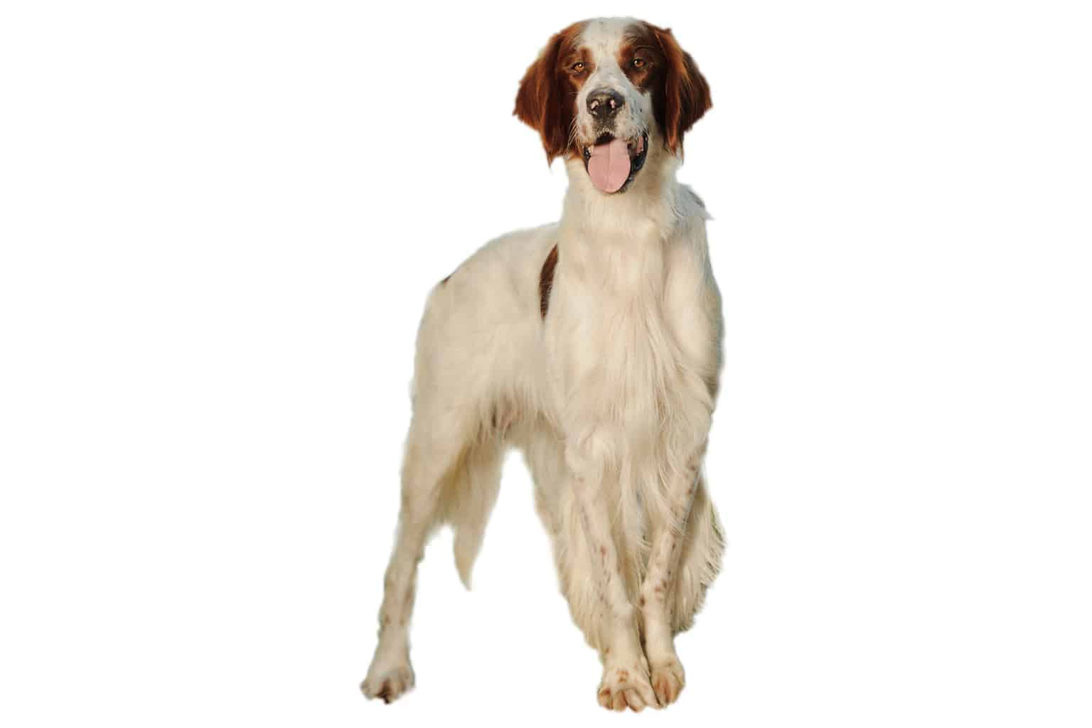 Irish Red And White Setter Profilbild