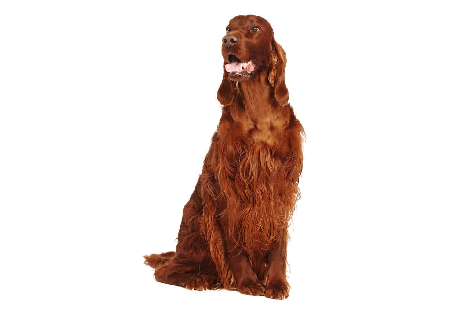 Irish Red Setter Profilbild