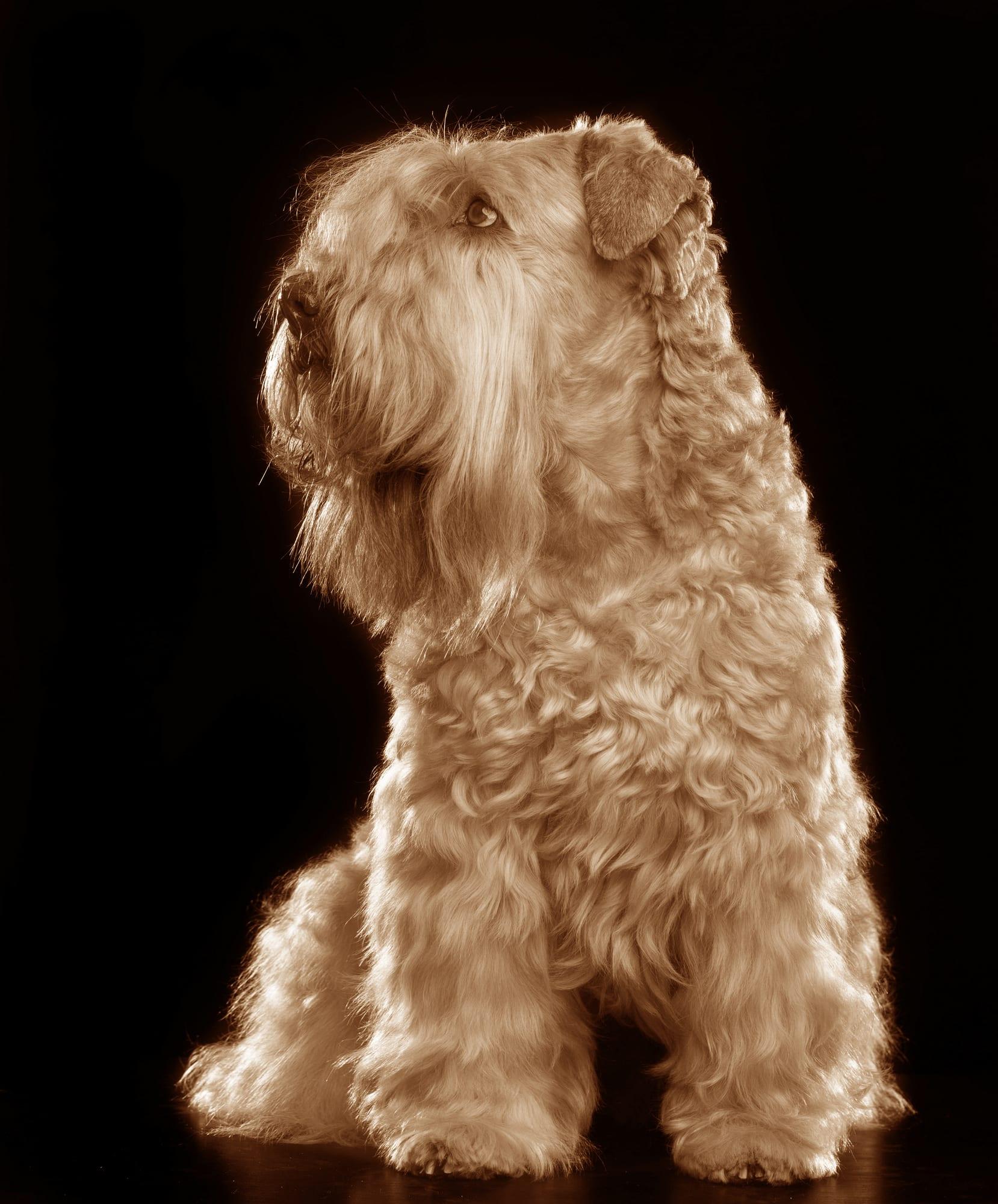 Irish Soft Coated Wheaten Terrier Geschichte