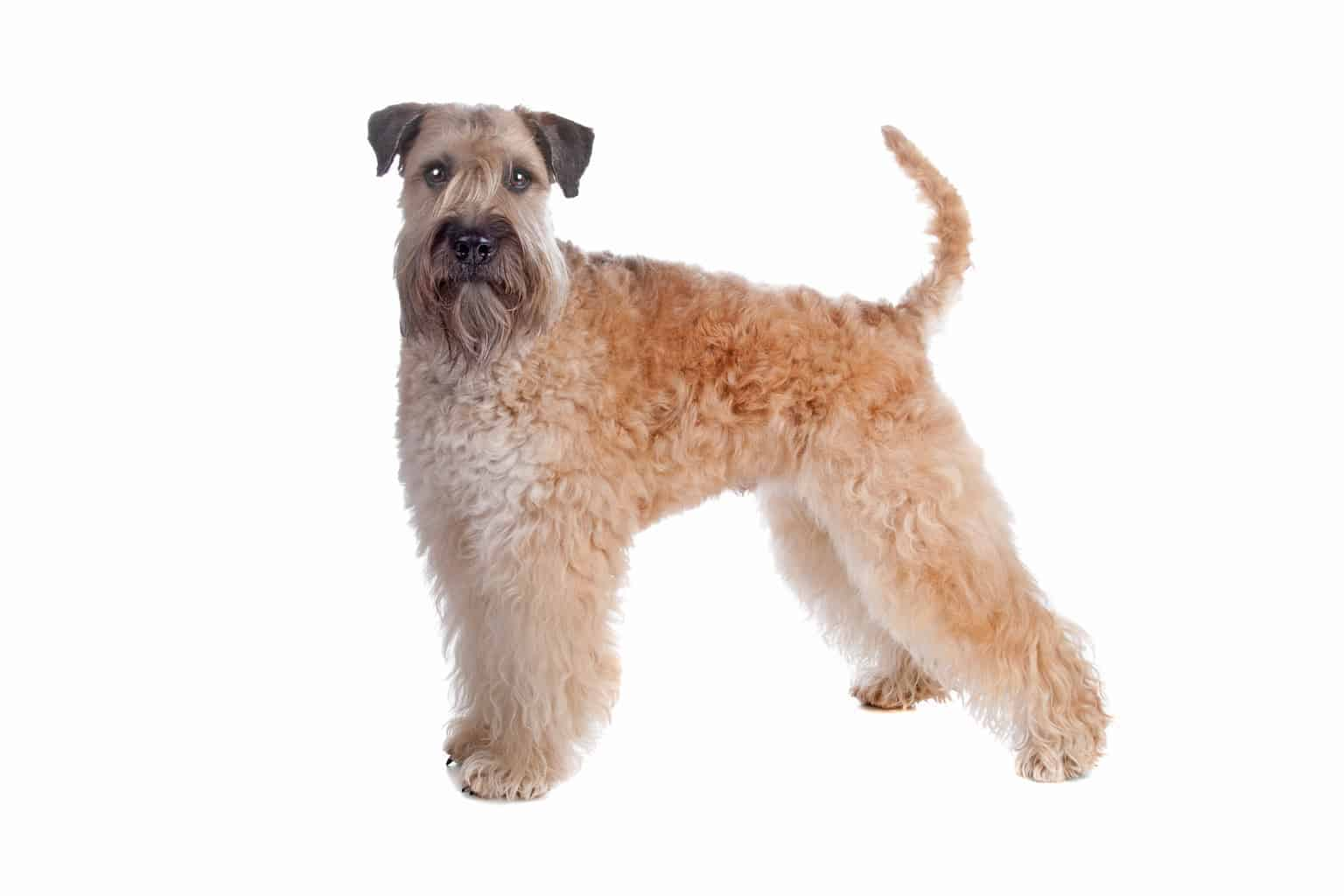 Irish Soft Coated Wheaten Terrier Profil