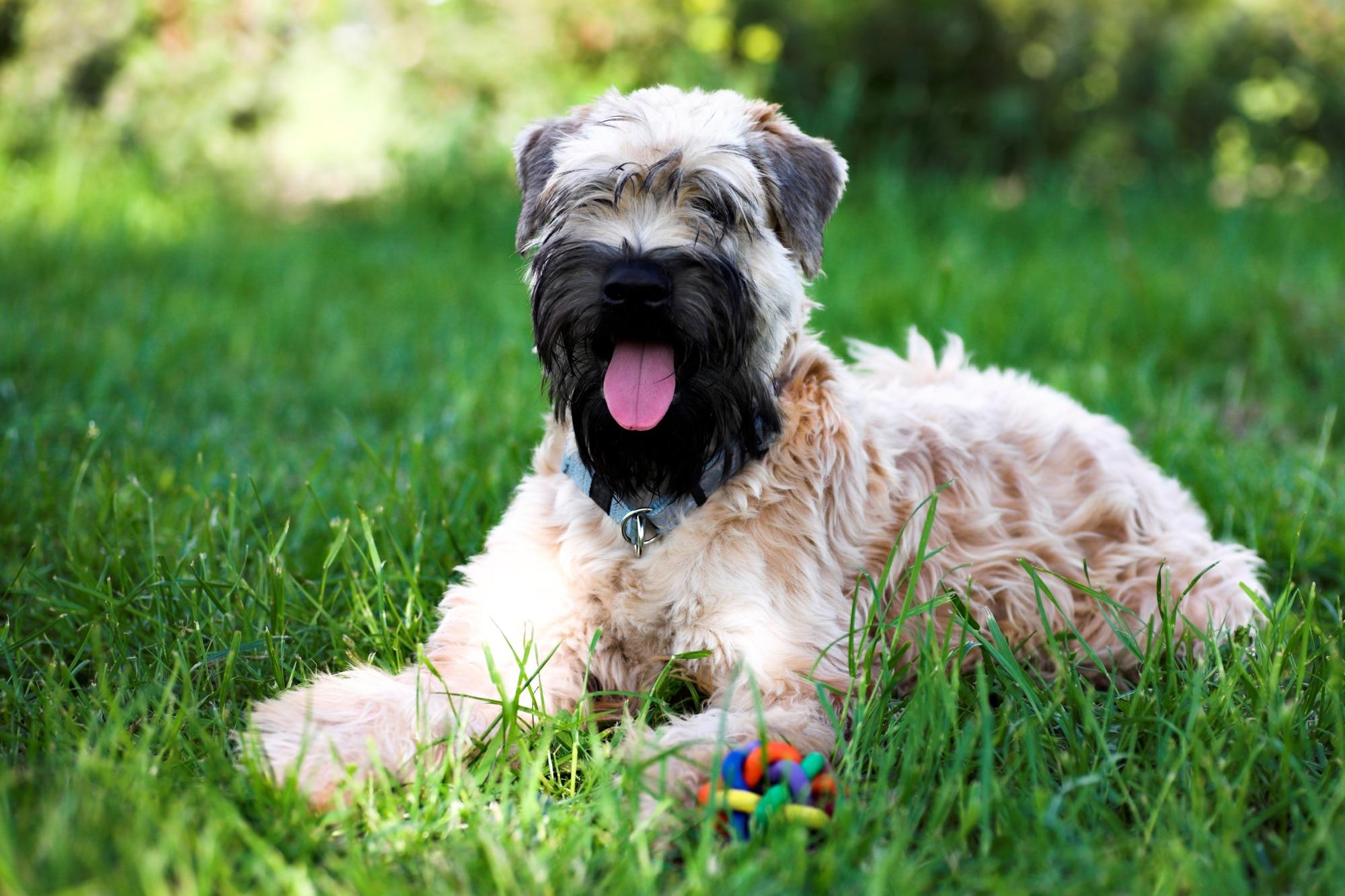 Irish Soft Coated Wheaten Terrier liegend