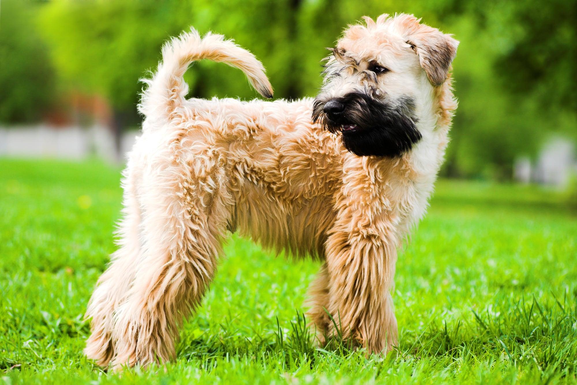 Irish Soft Coated Wheaten Terrier stehend