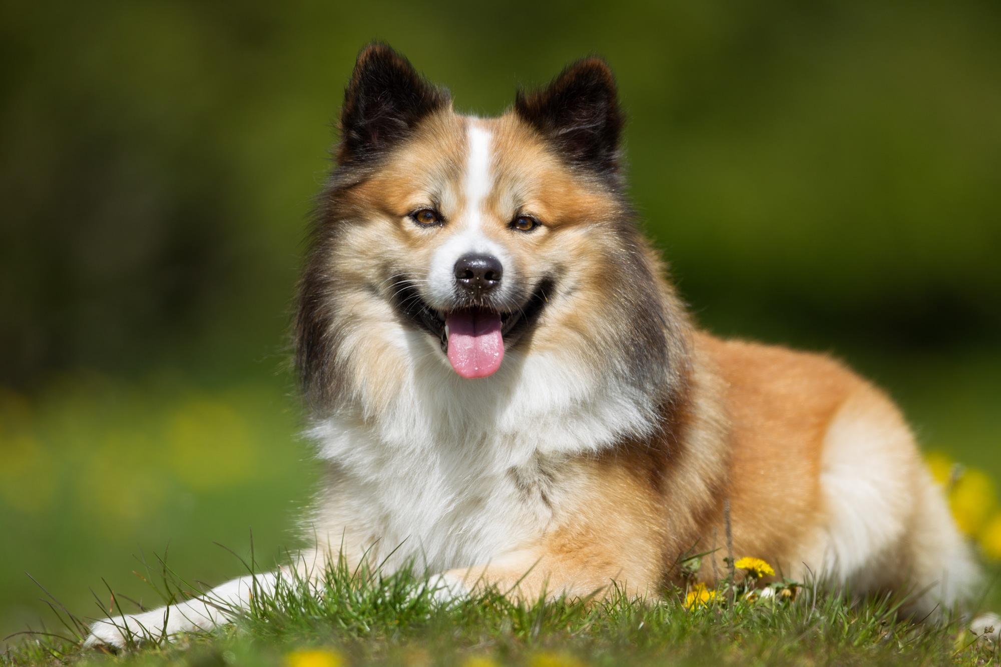 Islandhund 1
