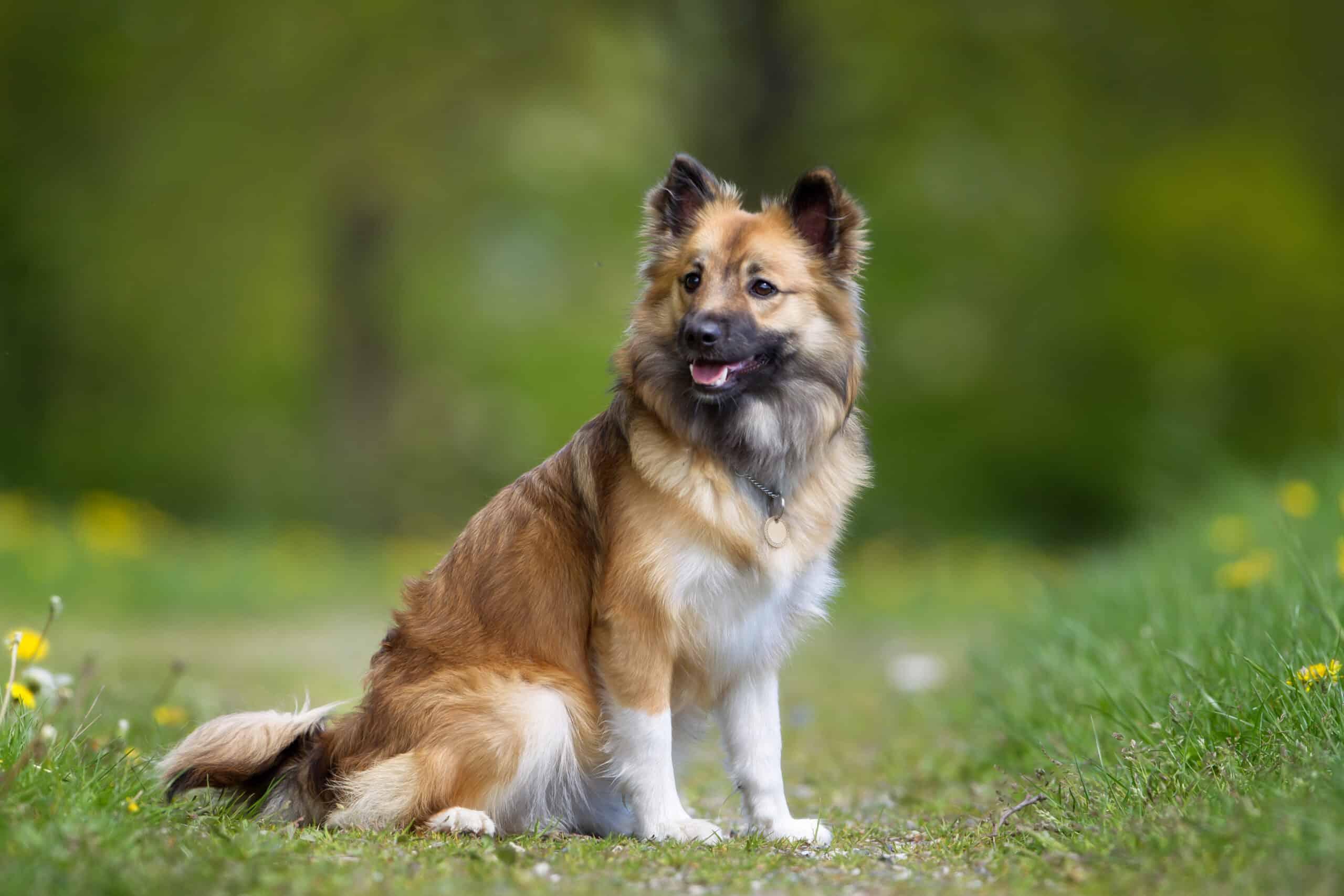 Islandhund 2