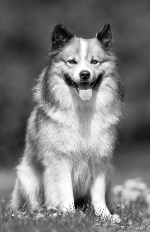Islandhund Herkunft