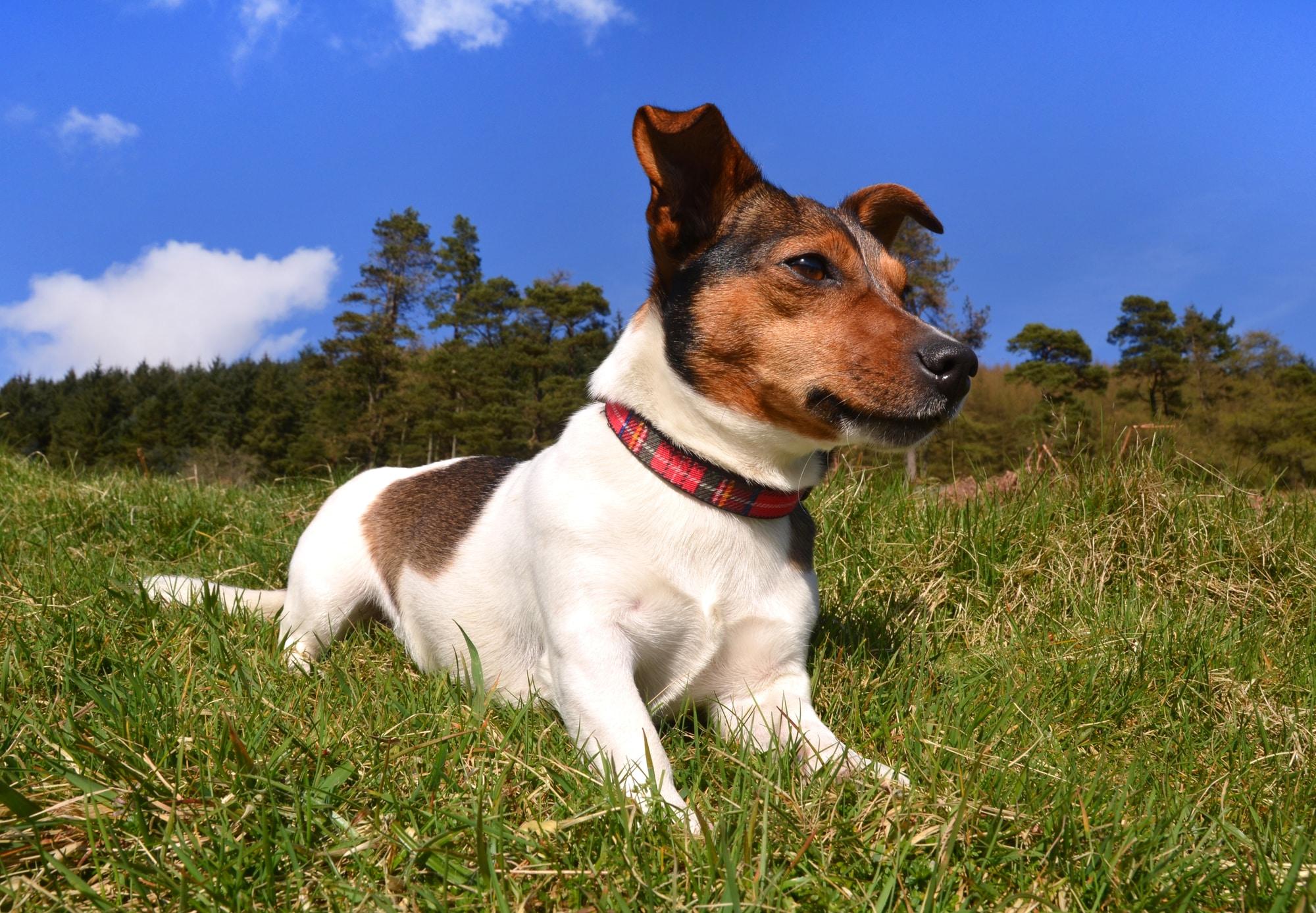 Jack Russell Terrier 2