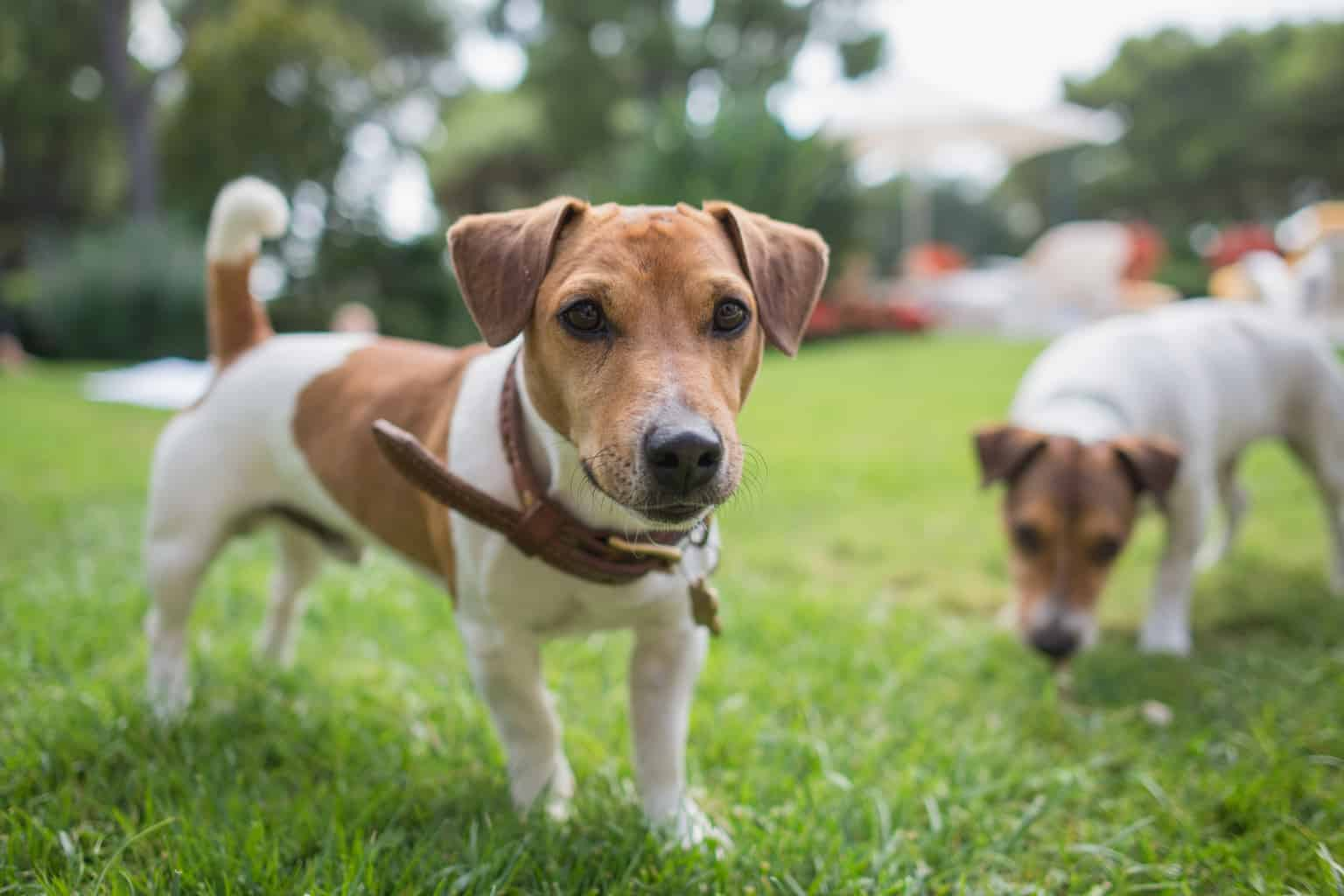 Jack Russell Terrier 1