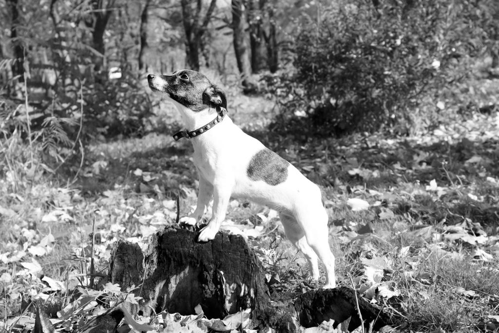 Jack Russell Terrier Herkunft