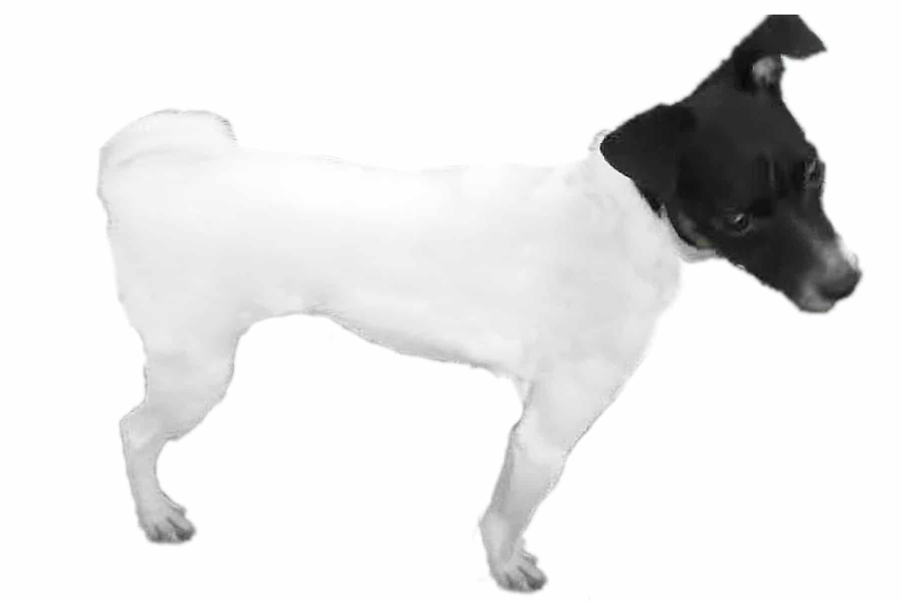Japanischer Terrier Profil