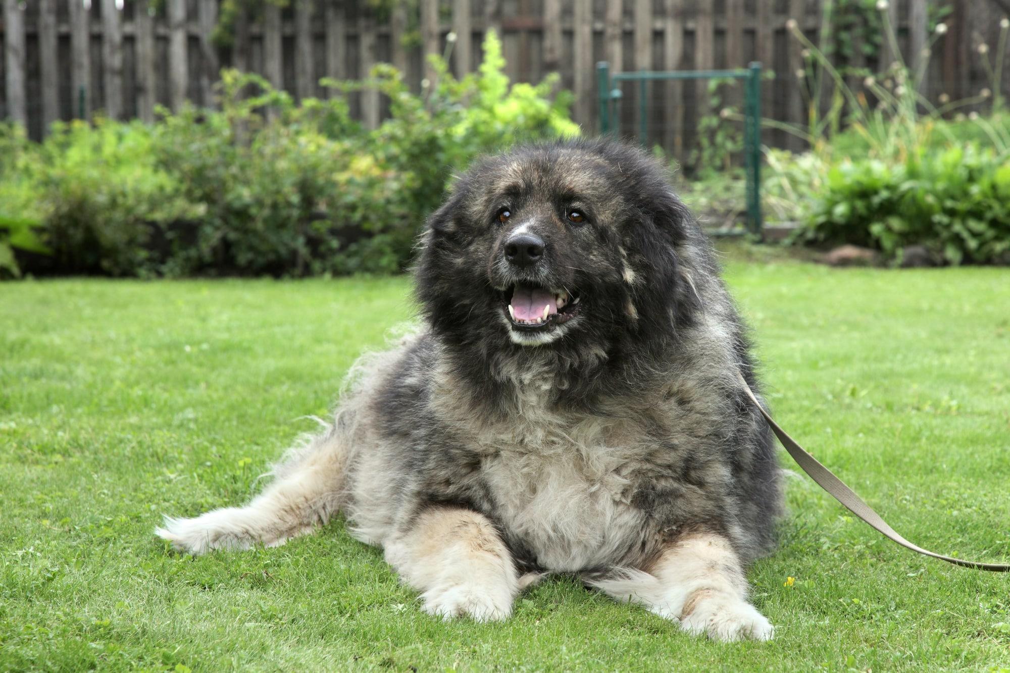 Adult Caucasian Shepherd dog lying on grass. Outdoor