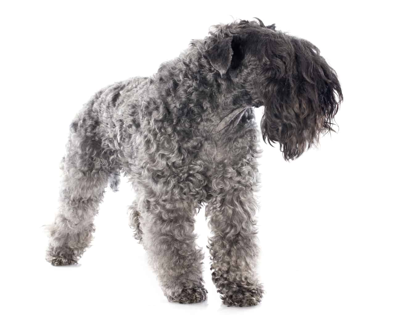 Kerry Blue Terrier Profil