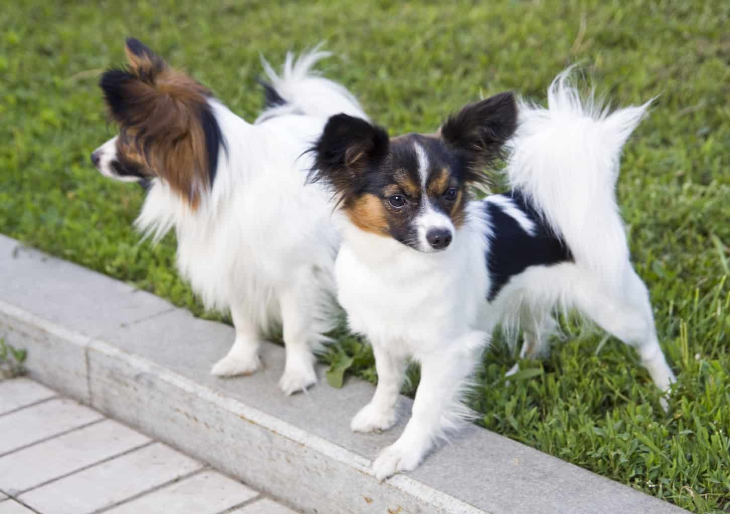 Two dogs of breed papillon on a green grass