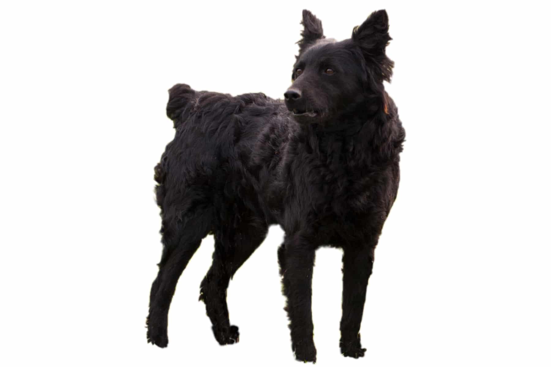 Kroatischer Schäferhund Profilbild