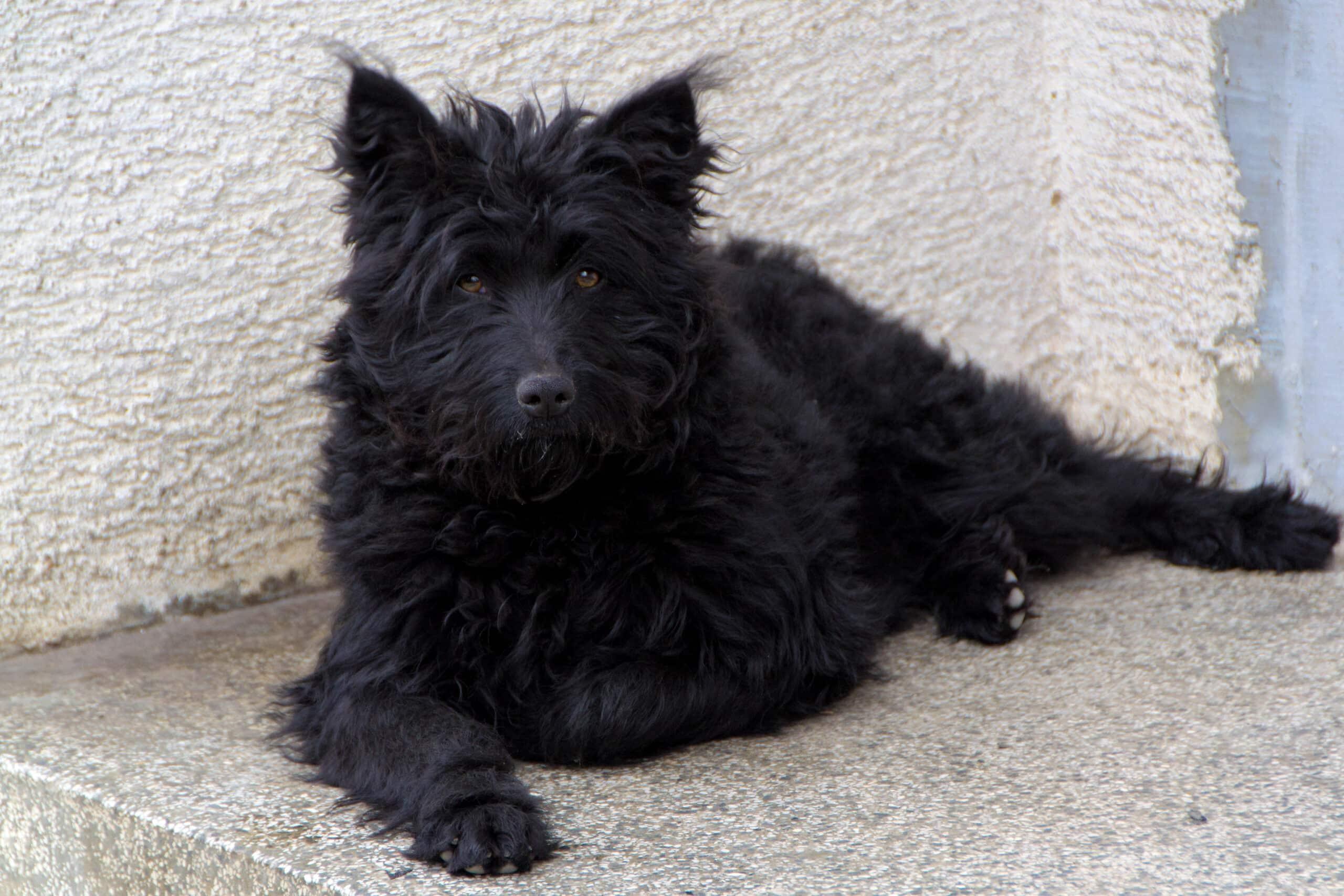 Kroatischer Schäferhund liegend