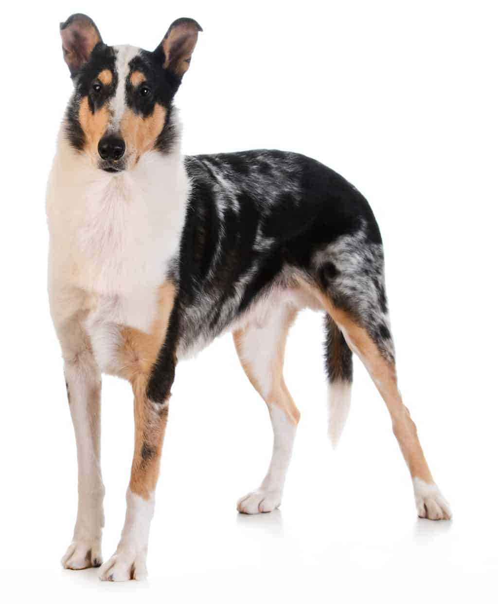 smooth haired collie standing on white background