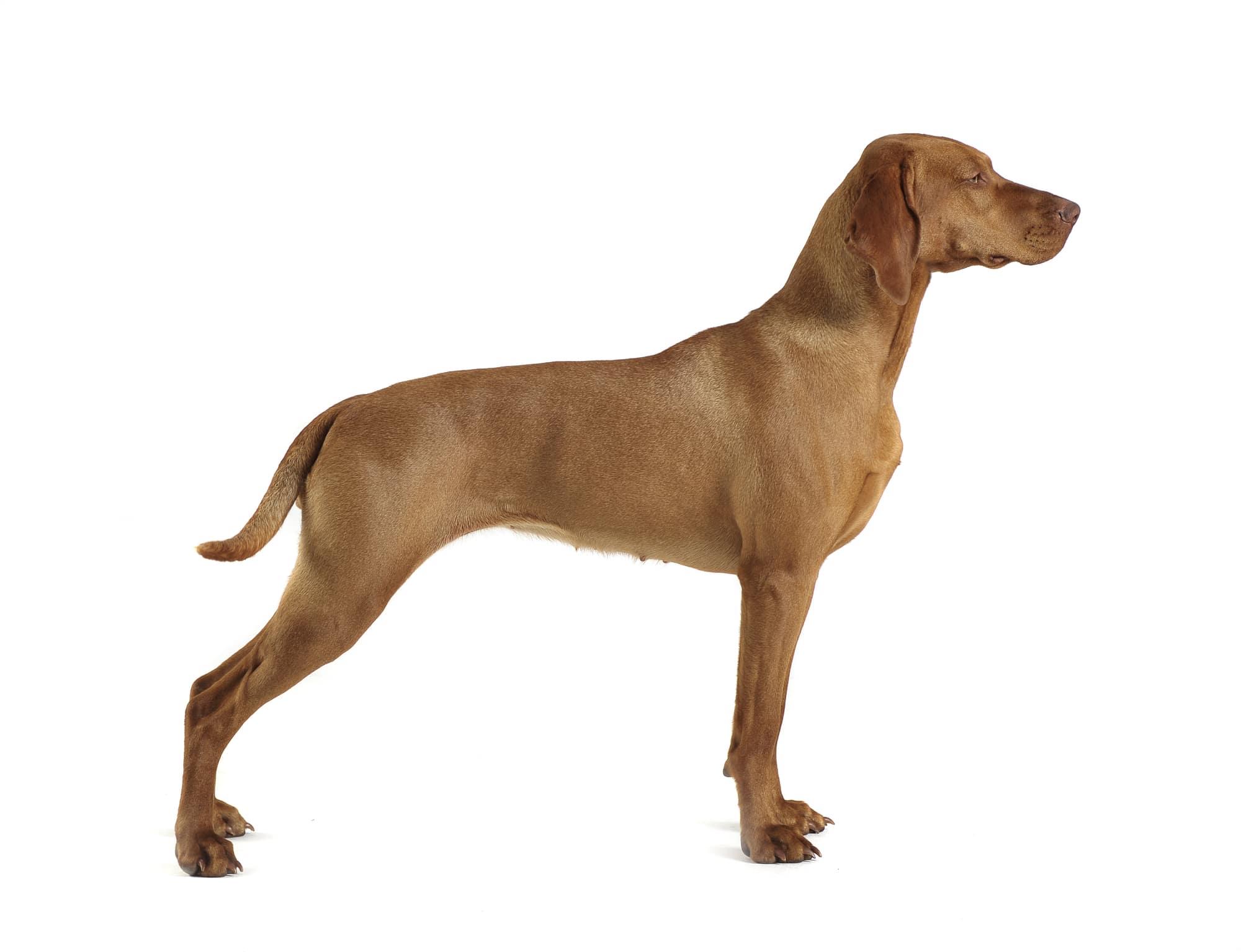 Kurzhaariger Ungarischer Vorstehhund