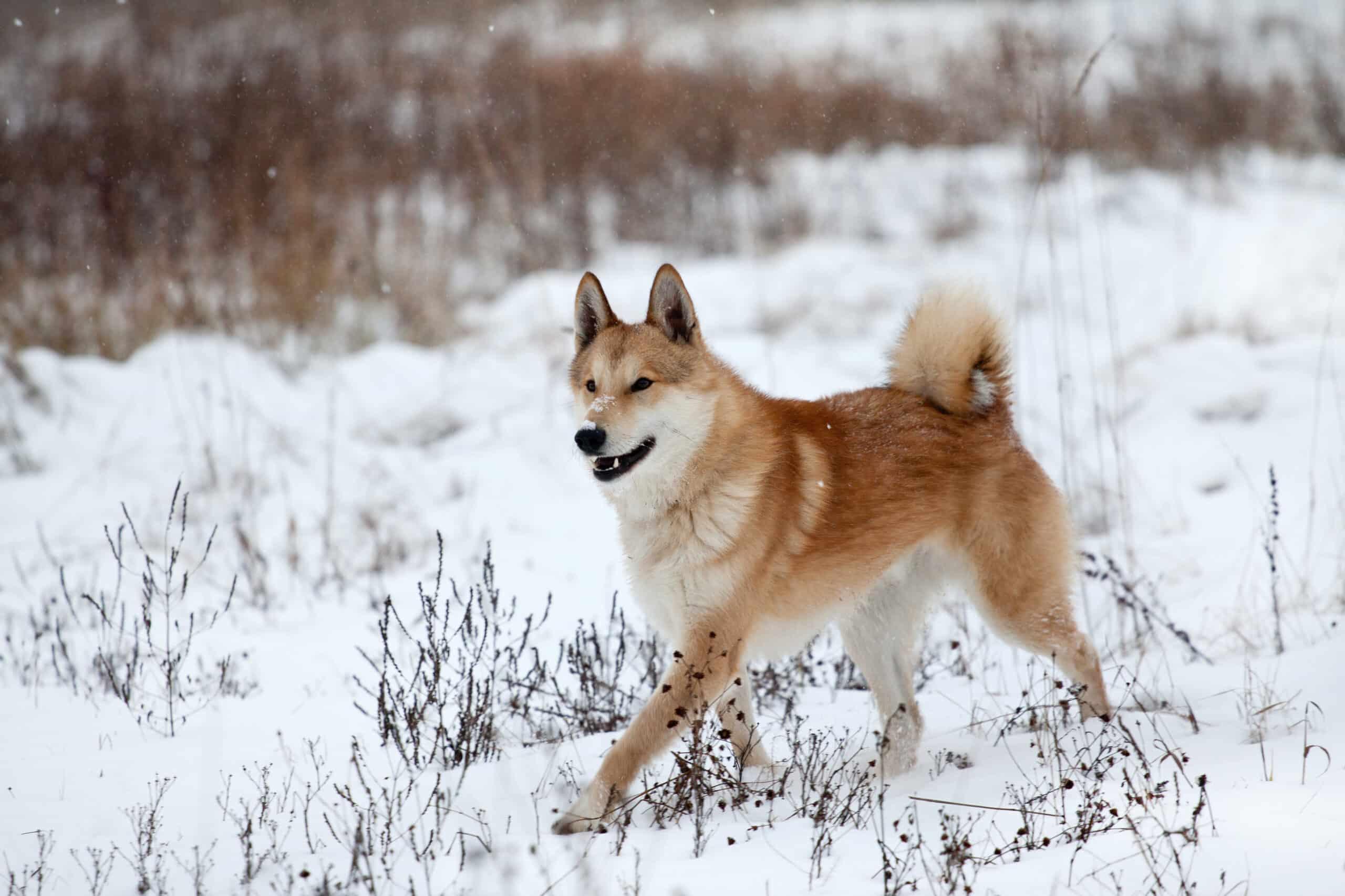 Laika Hund im Schnee