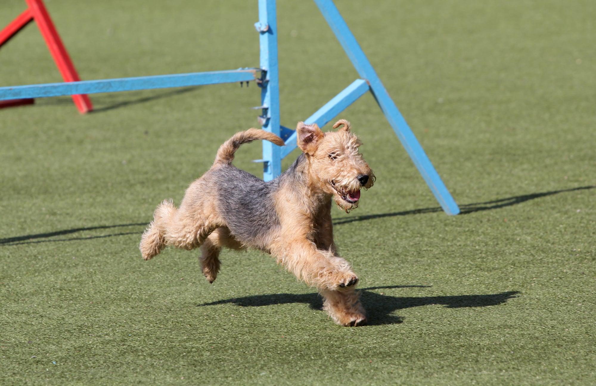 Lakeland Terrier rennt