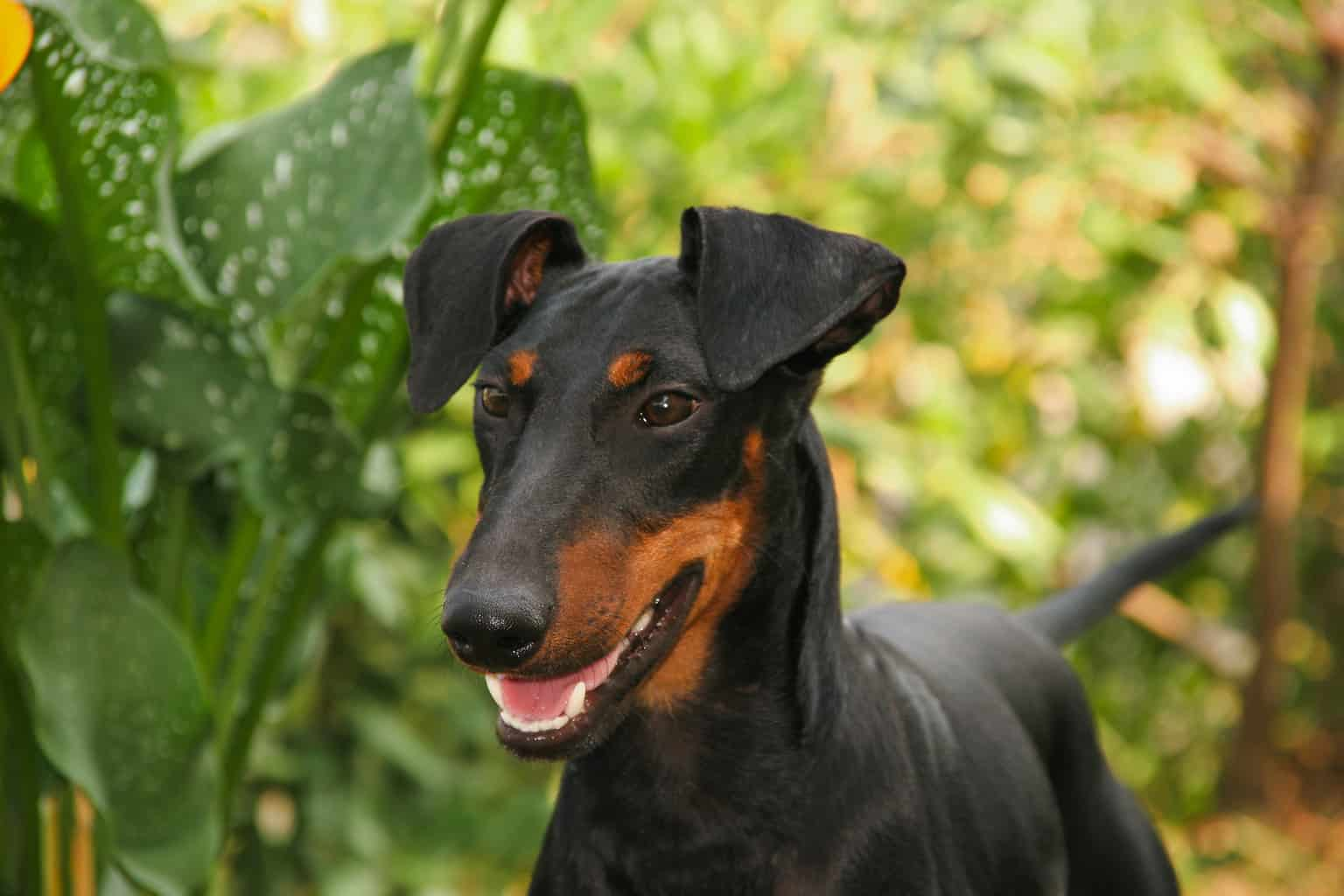 Portrait of a Manchester Terrier dog (Canis lupus familiaris).