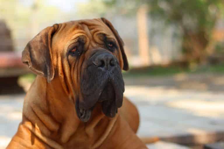 Mastiff 1