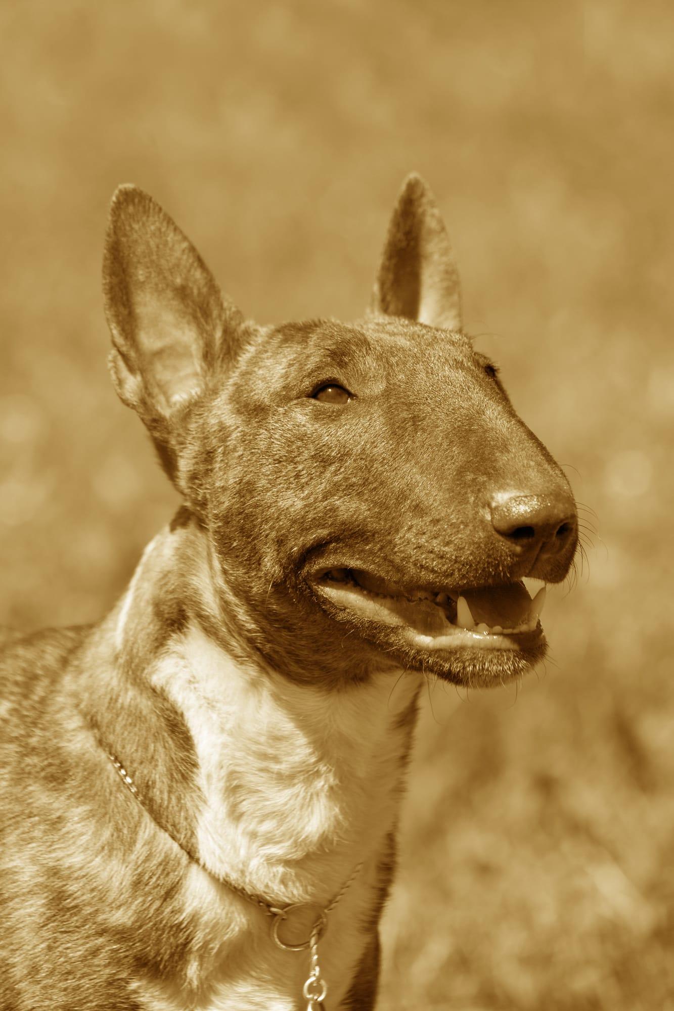 Miniature Bull Terrier Geschichtsbild