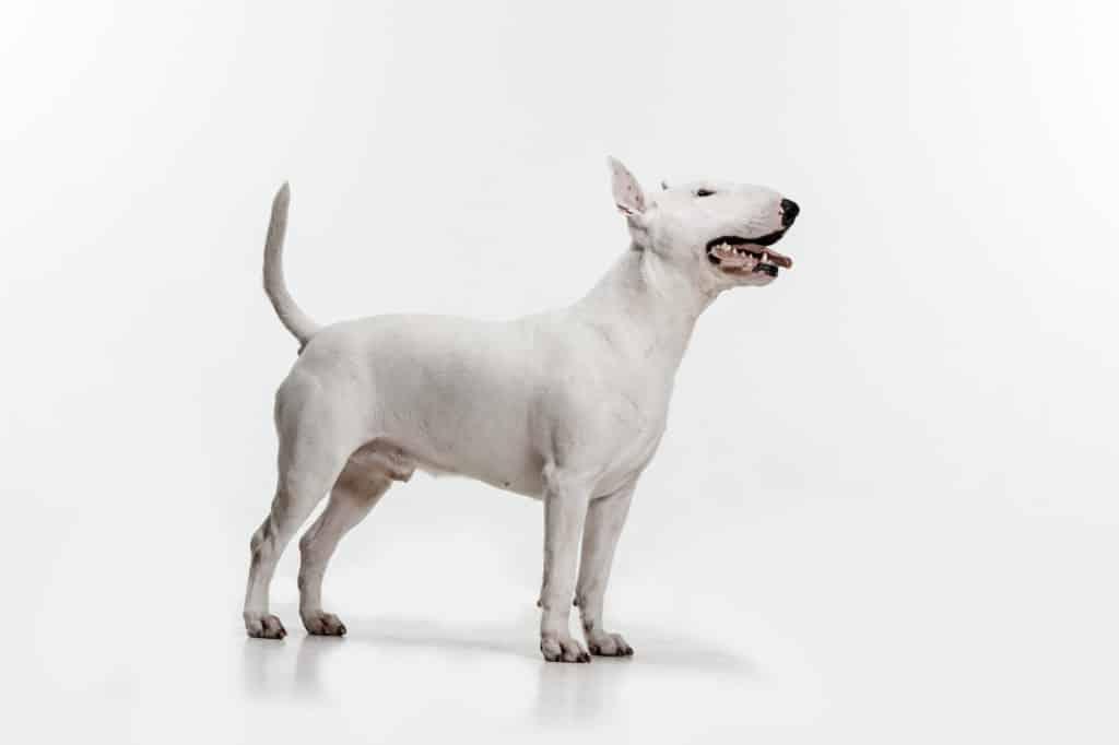 Miniature Bull Terrier Profil