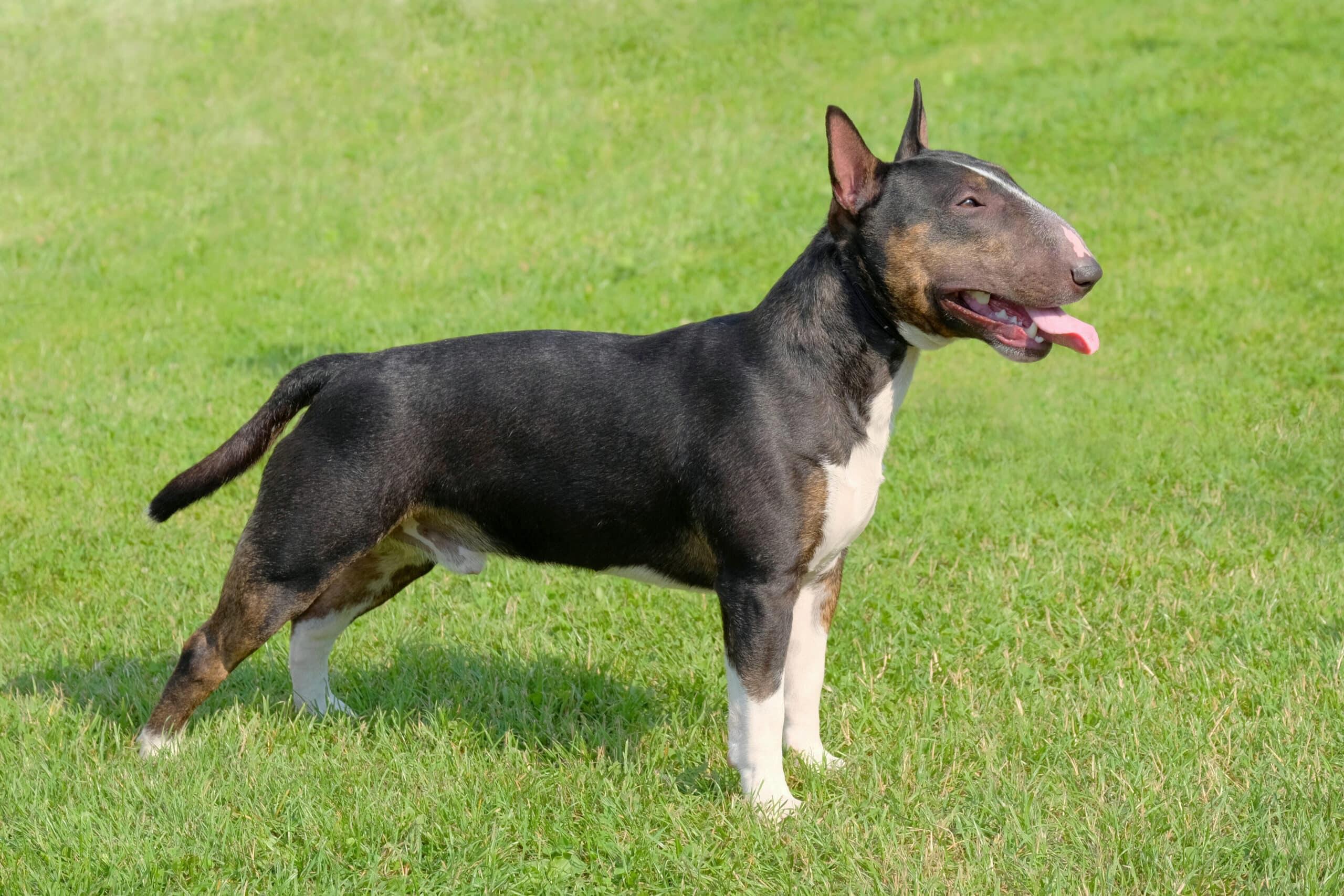 Miniature Bull Terrier braun