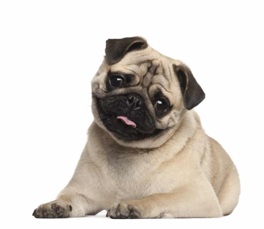 Mops Hund Charakter Erziehung Ernährung Tipps Hundeo