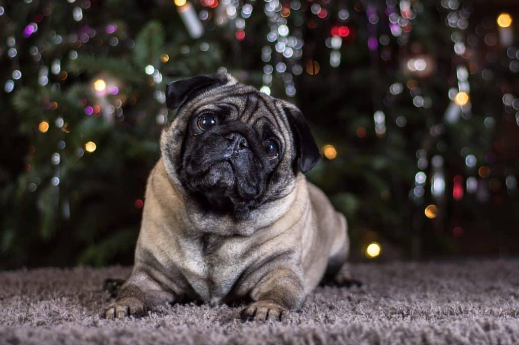Mops Bilder Weihnachten.Mops Hund Charakter Erziehung Ernährung Tipps Hundeo