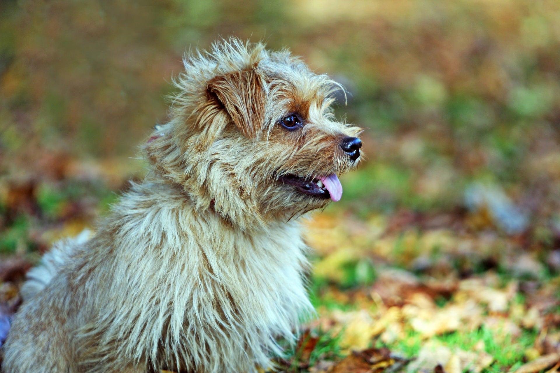 Norfolk Terrier 1