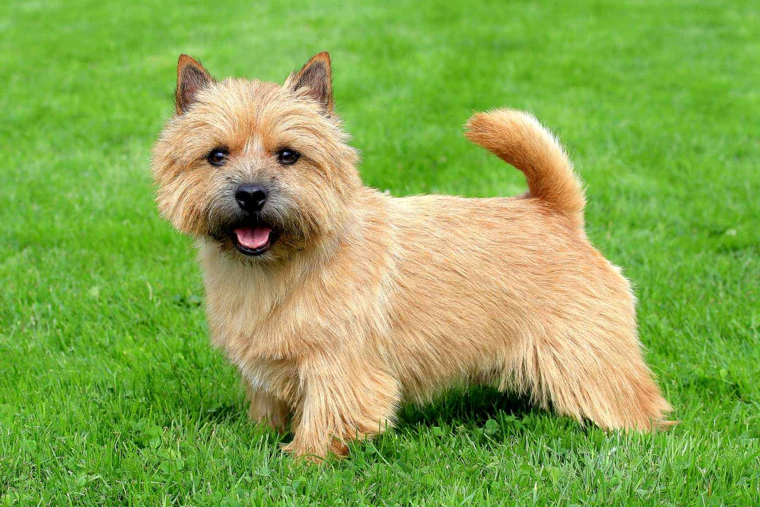 The portrait of Norwich Terrier in a garden