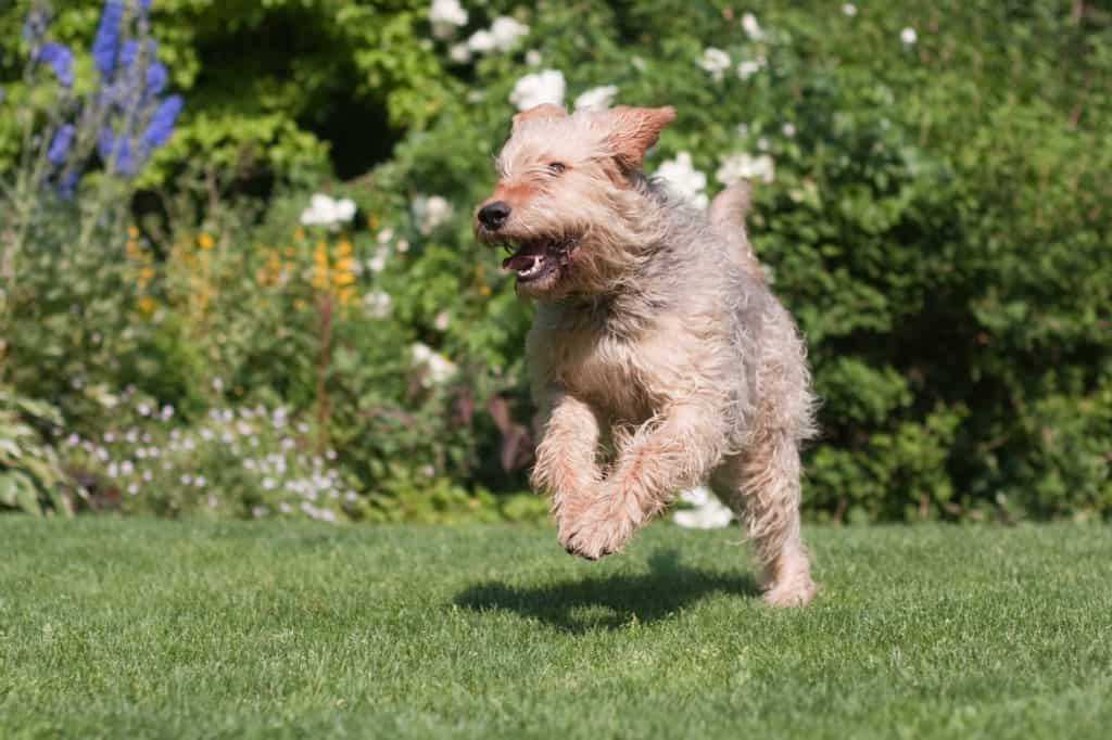Otterhund 1