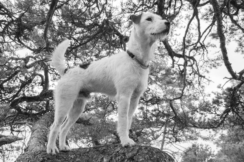 Parson Russell Terrier Herkunft