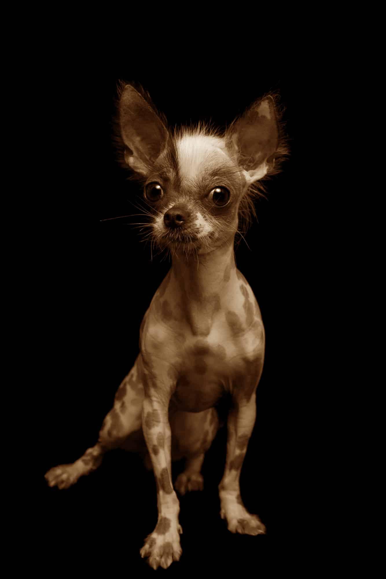 Peruanischer Nackthund Geschichtsbild