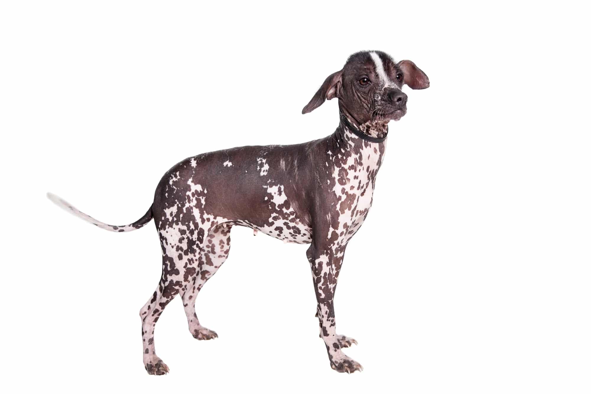 Peruanischer Nackthund Profil