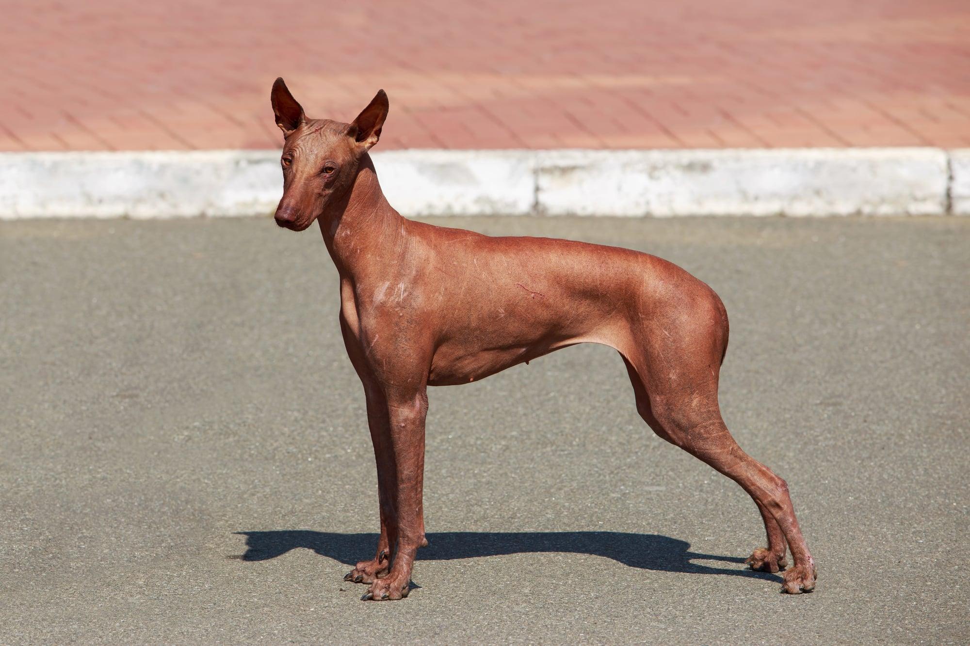 Peruanischer Nackthund braun