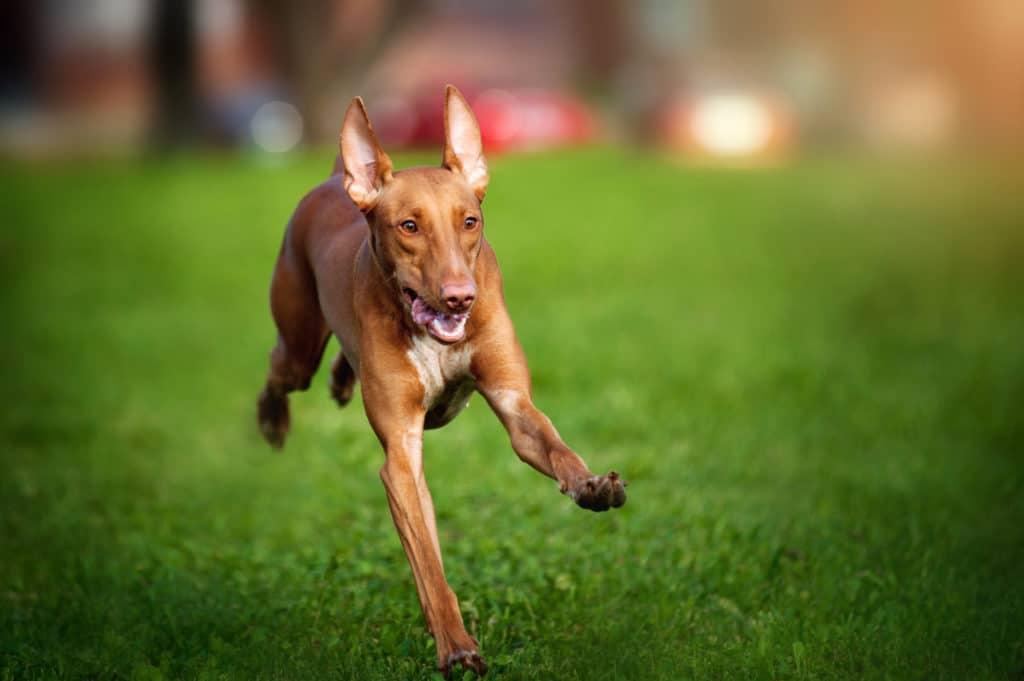 Pharaonenhund 2