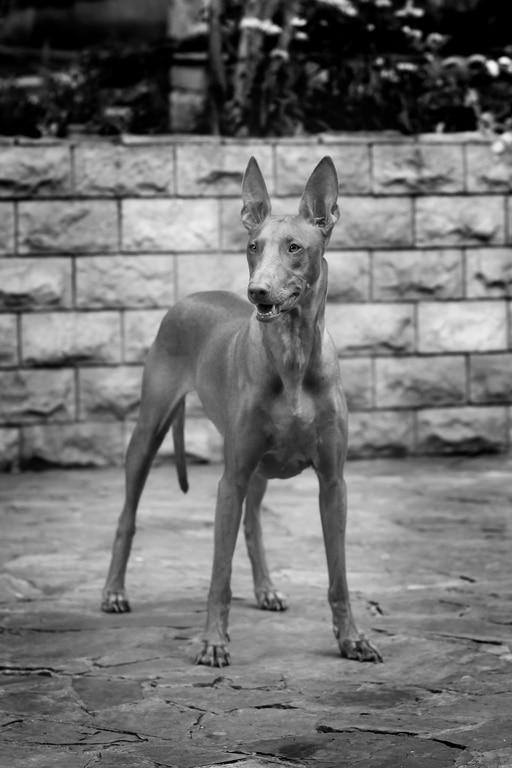 Pharaonenhund Herkunft
