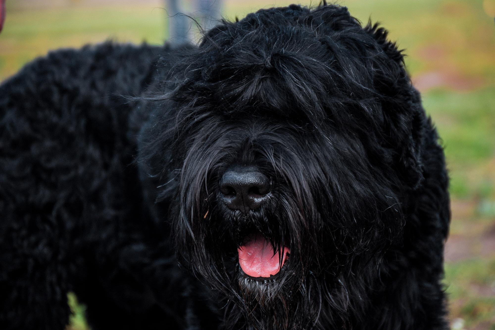 Russischer Schwarzer Terrier Portrait