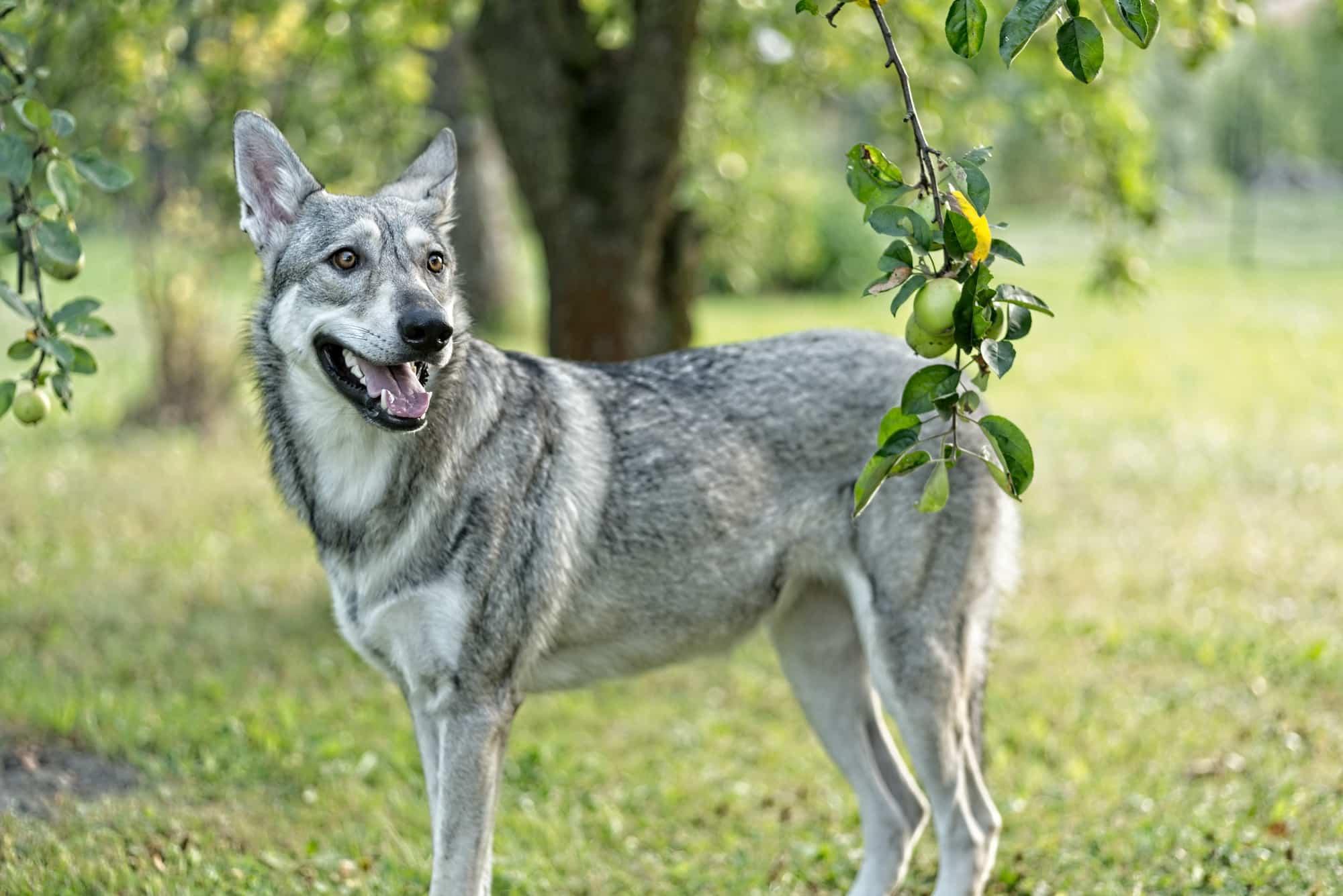 Saarlooswolfhund