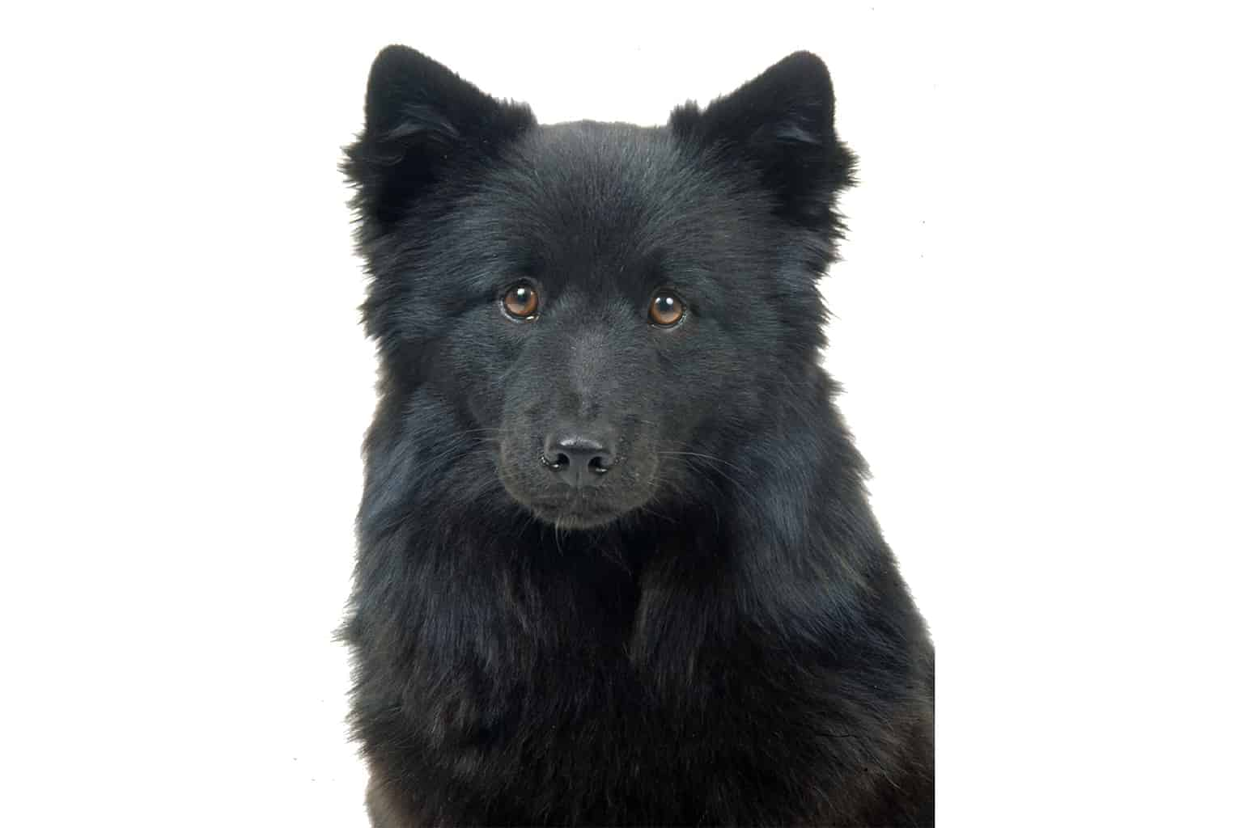 Schwedischer Lapphund Profilbild