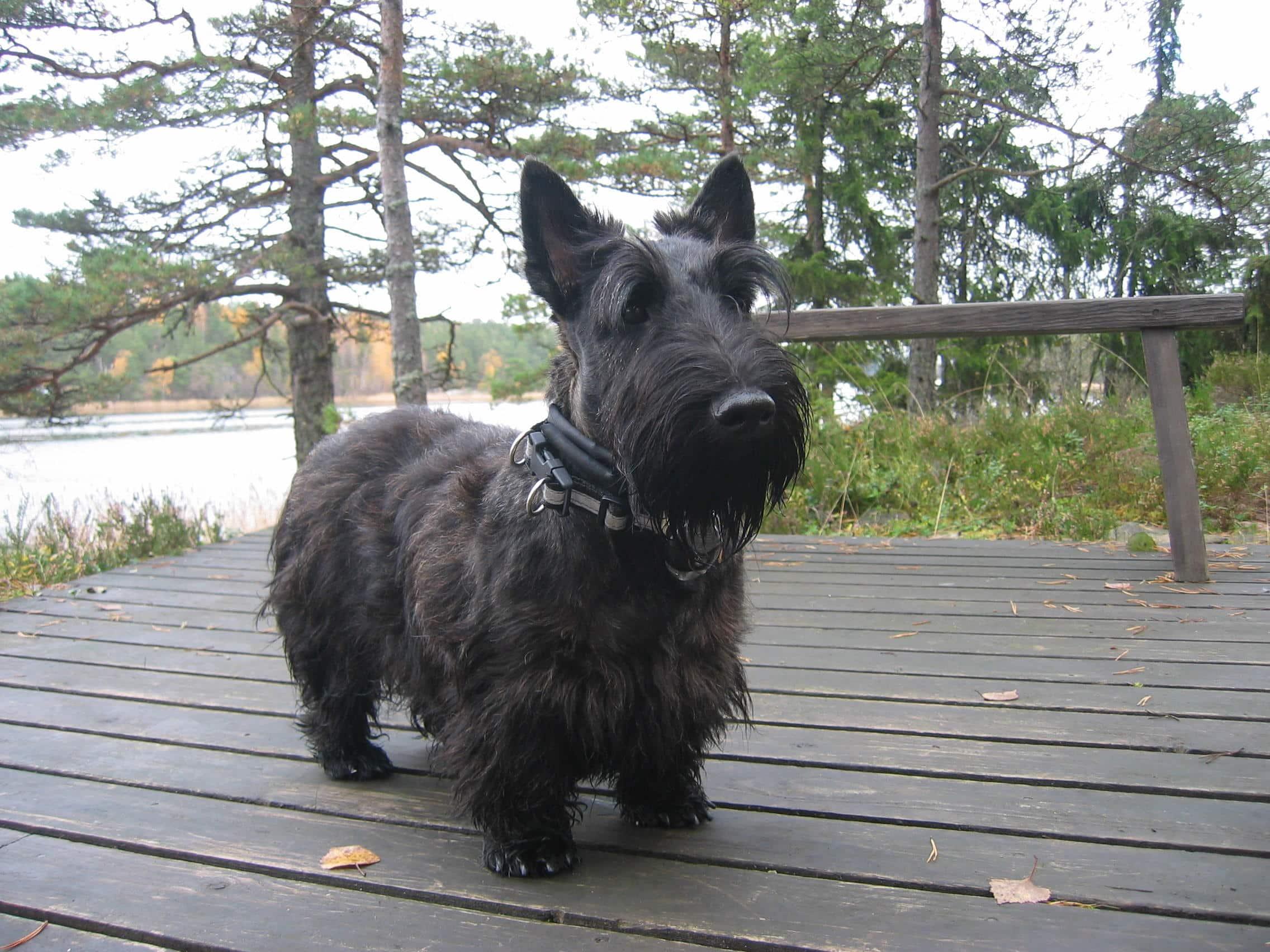 Scottish Terrier (2)