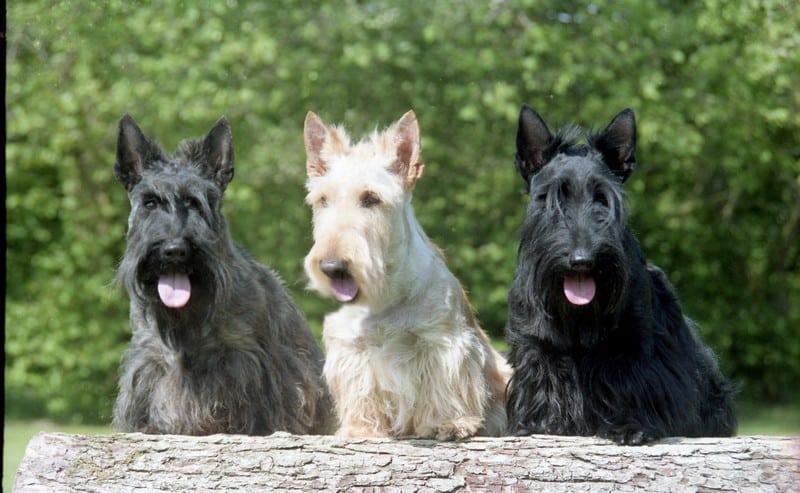Scottish-Terrier_bilder