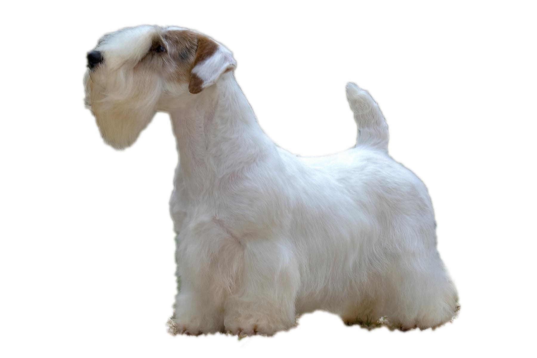 Sealyham Terrier Profilbild